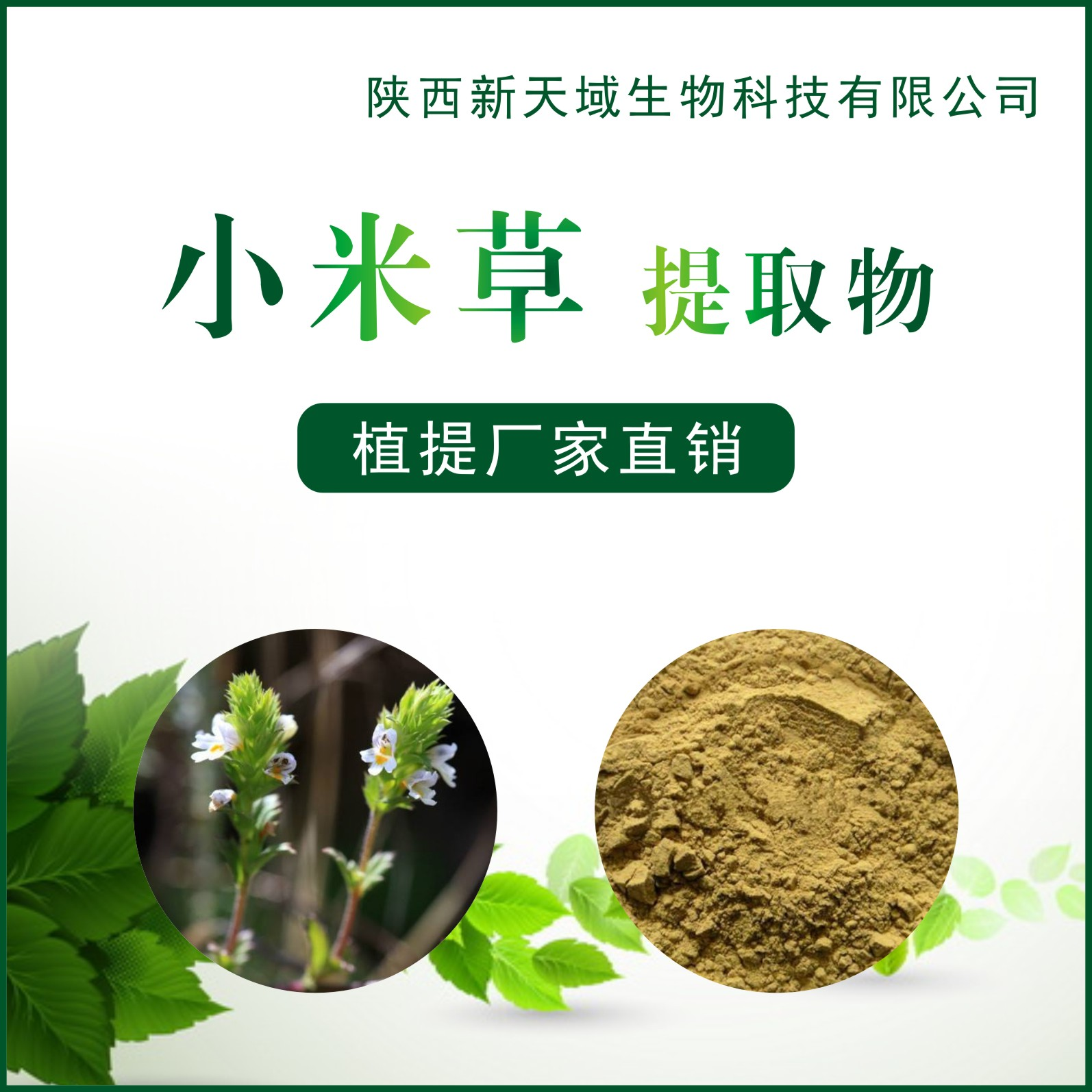 专业生产优质小米草提取物 小米草粉 现货包邮