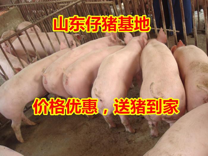 现在仔猪价格30斤山东仔猪价格