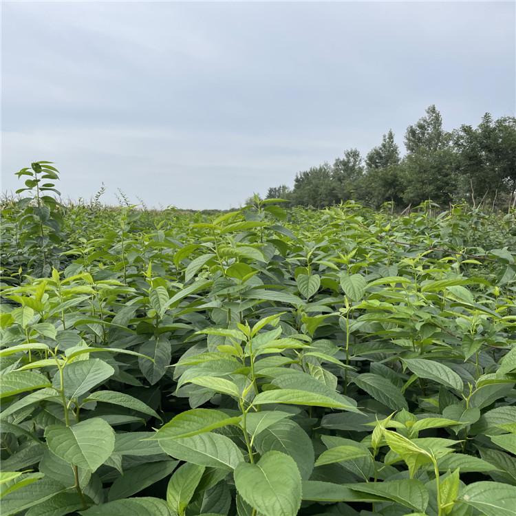 1年50-80公分杜仲苗价格~2年1米-1.5米杜仲苗价格 批发