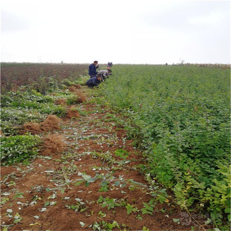 连翘苗种植效益 连翘苗价格批发 挂果1-2-3年连翘苗实地现挖价格