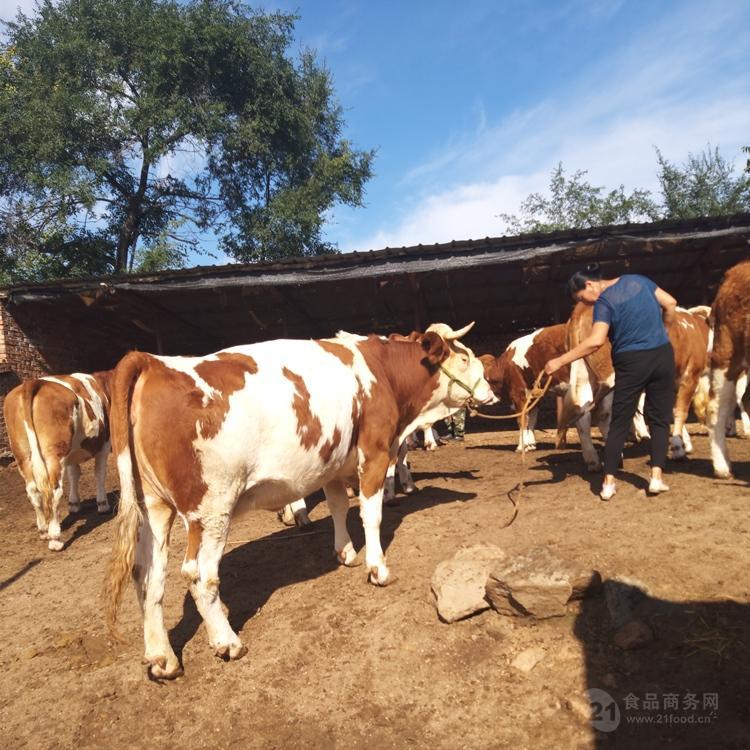500斤西门塔尔牛犊价钱