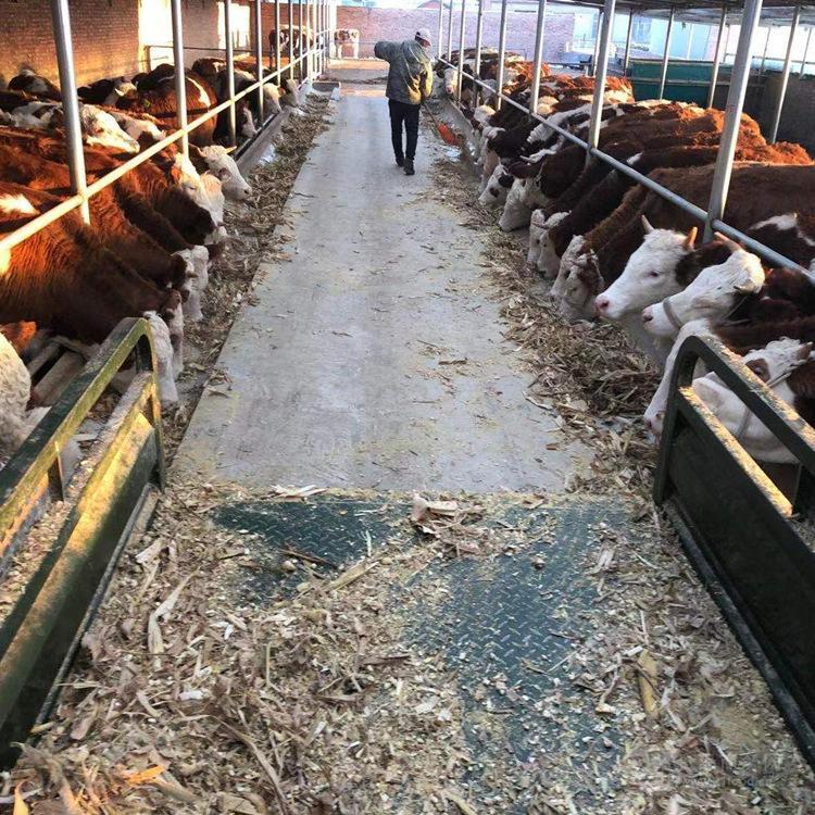 五百斤的西门塔尔小母牛价格