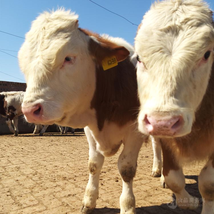 天水500斤西门塔尔牛犊价格