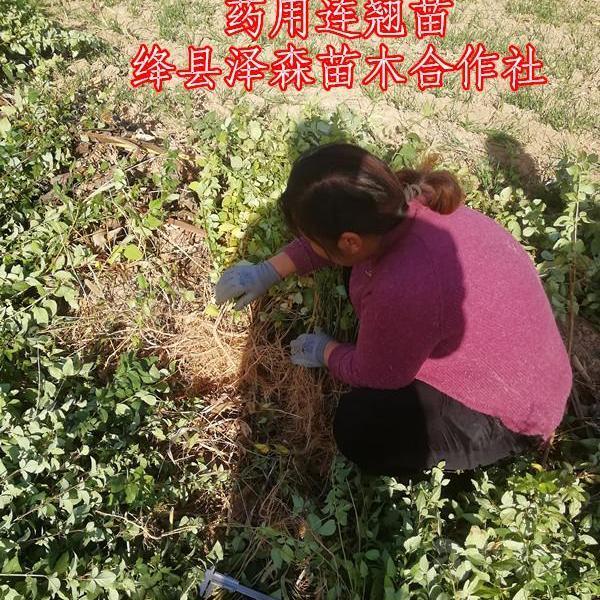 3分枝0.8粗连翘苗价格=3年高产挂果连翘苗种植基地 泽森