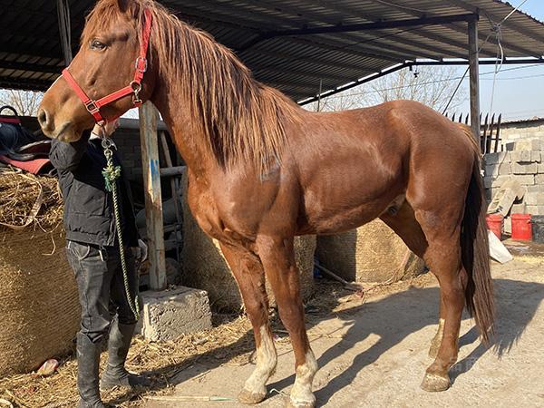 赛马养殖 养马场出售 优质纯血马的价格 纯血马价格