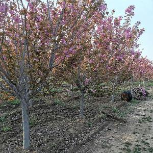 山东泰安10公分樱花价格 10公分樱花树价格