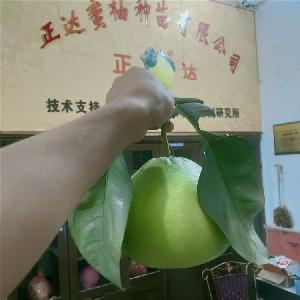 泰国红宝石(红宝石青柚苗)一亩种几株