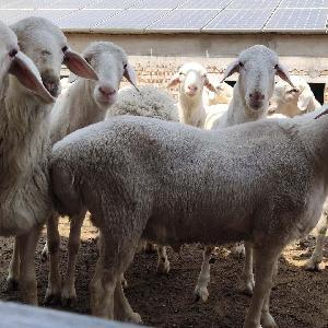 白银纯种小尾寒羊
