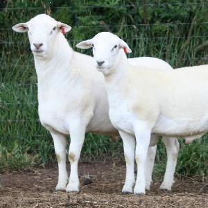 甘肃澳洲白绵羊价格