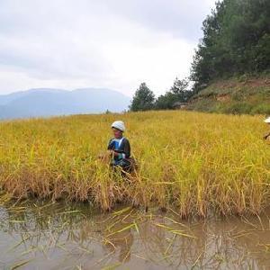 从江九芗农业香禾糯供应链安全可靠