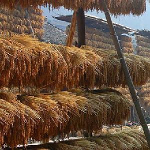 從江九薌農業香禾糯直銷制作精良