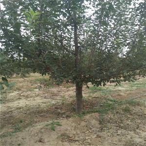 泽森苗木出售一级精品7公分苹果树8公分苹果树 占地苹果树价格