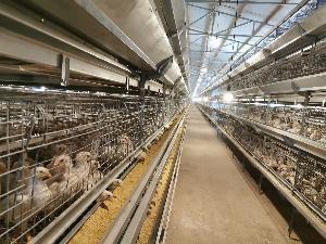 110日齡羅曼灰青年雞 蛋雞