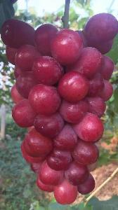 红夏音葡萄苗