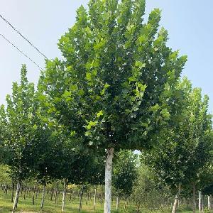法桐基地20公分、22公分、25公分法国梧桐价格