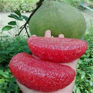 福建省平和縣正達蜜柚種苗有限公司-泰國紅寶石青柚苗
