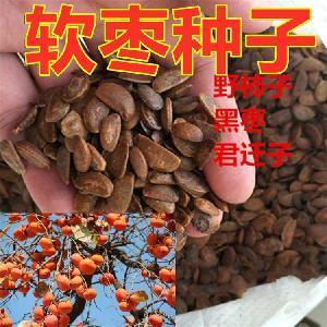 黑枣种子价格(软枣种子+君迁子种子)一斤价格