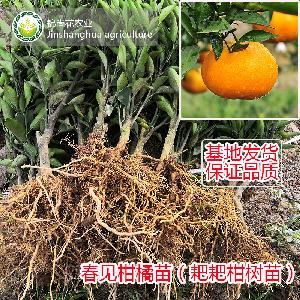 宜宾春见耙耙柑橘树苗 2年嫁接果树苗保证品质3年投产