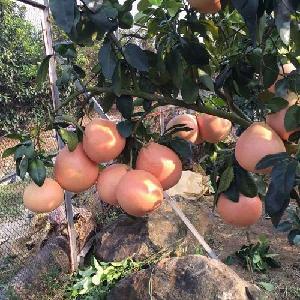 批發購買三紅蜜柚苗