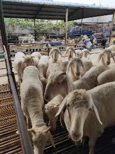 菏澤發杭州小尾寒羊市場價格   波爾山羊市場行情價格