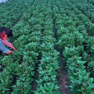 脱毒高淀粉商薯19红薯苗大量供应