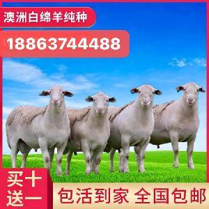 出售波爾山羊