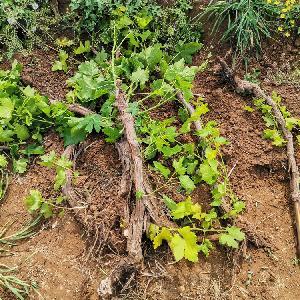 批发葡萄苗(2-3-4公分葡萄苗)品种红提-巨峰-户太-阳光玫瑰