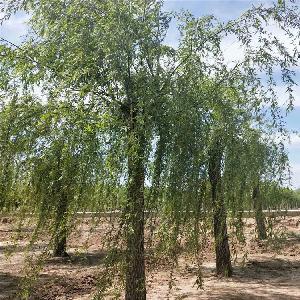 山东胸径18公分垂柳价格详情 基地多规格 绿化工程苗