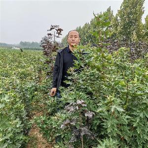 2年五角枫小苗~~2022年2年生五角枫产地报价 1年五角枫价格
