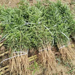 皂角树苗价格=皂角树小苗价格=大刺皂角苗基地价格