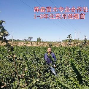 药用连翘苗亩种植数量~载210棵药用连翘苗 高产~大果~批发