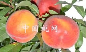 极早熟黄肉蟠桃一中蟠7桃树苗