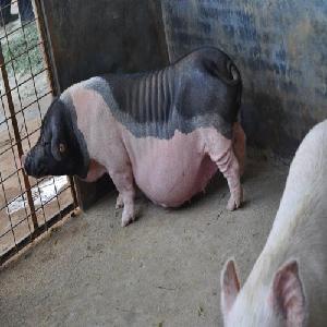 泰州陸川豬收購商