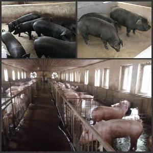 出售改良型黑豬母豬崽格