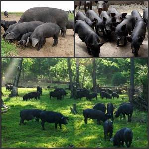 改良黑猪价格 纯种改良黑猪格