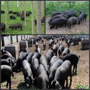 黑猪价格 纯种黑猪格