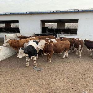 三元杂交牛